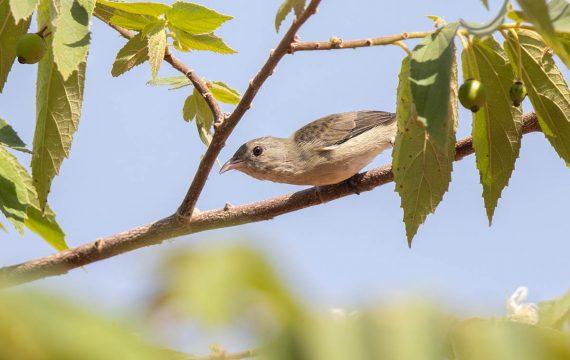 Dikbekhoningvogel – Thick-billed Flowerpecker