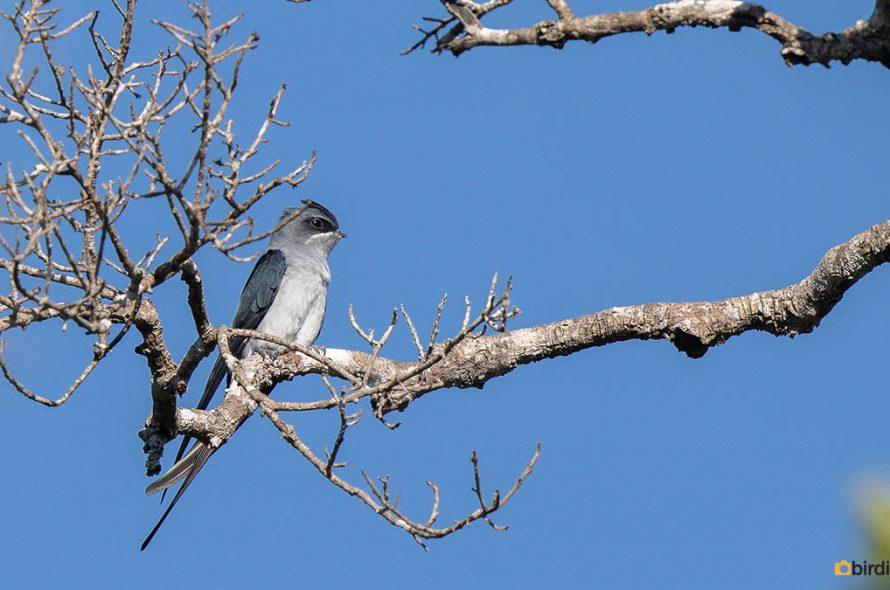 Gekroonde Boomgierzwaluw – Crested Treeswift