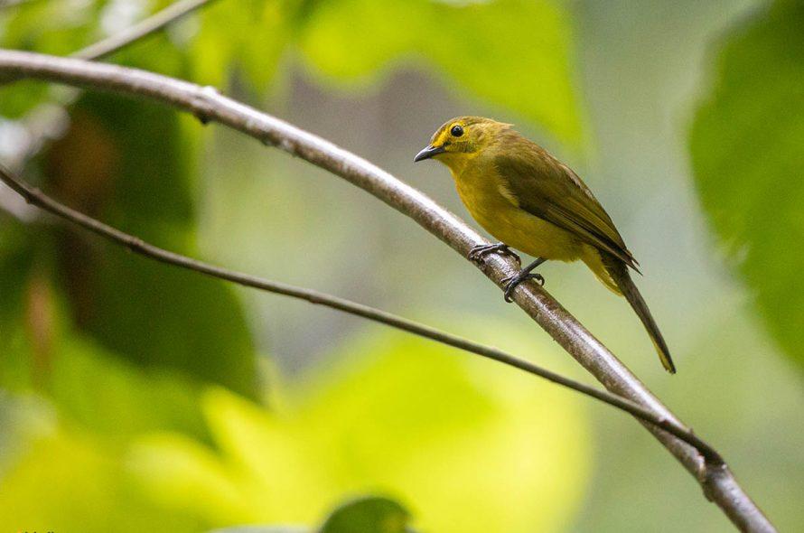 Goudbrauwbuulbuul – Yellow-browed Bulbul