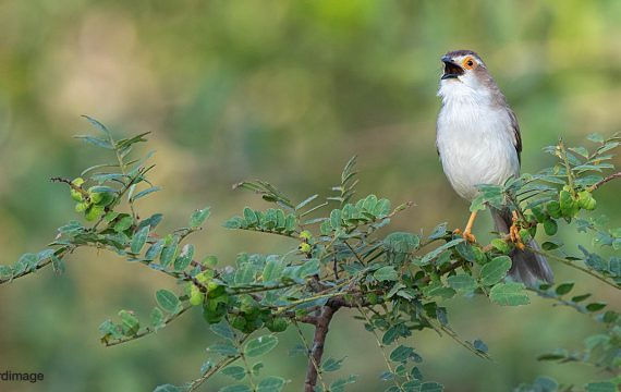Goudoogtimalia – Yellow-eyed Babbler