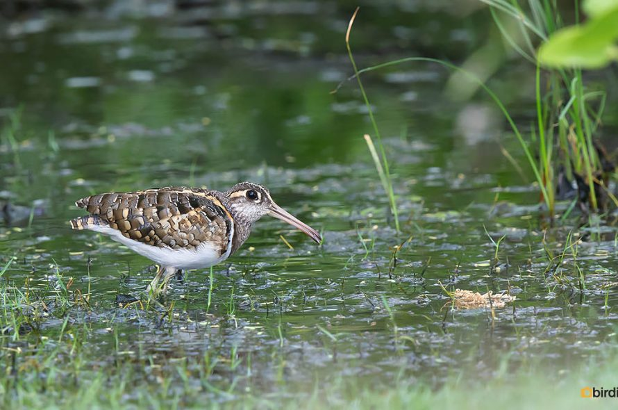 Goudsnip – Greater painted snipe