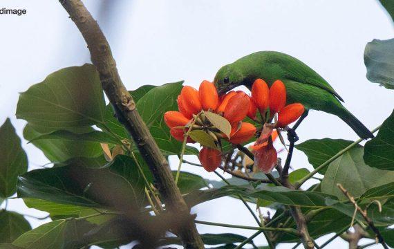 Goudvoorhoofdbladvogel – Golden-fronted Leafbird