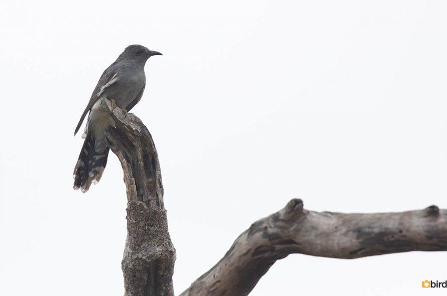 Grijsbuik-Piet-van-Vliet – Grey-bellied Cuckoo