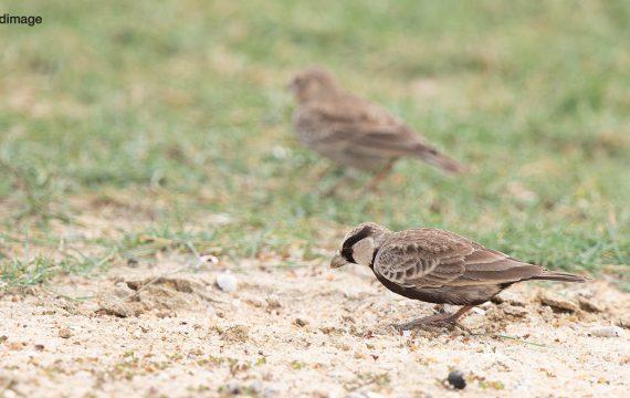 Grijskruinvinkleeuwerik – Ashy-crowned Sparrow Lark