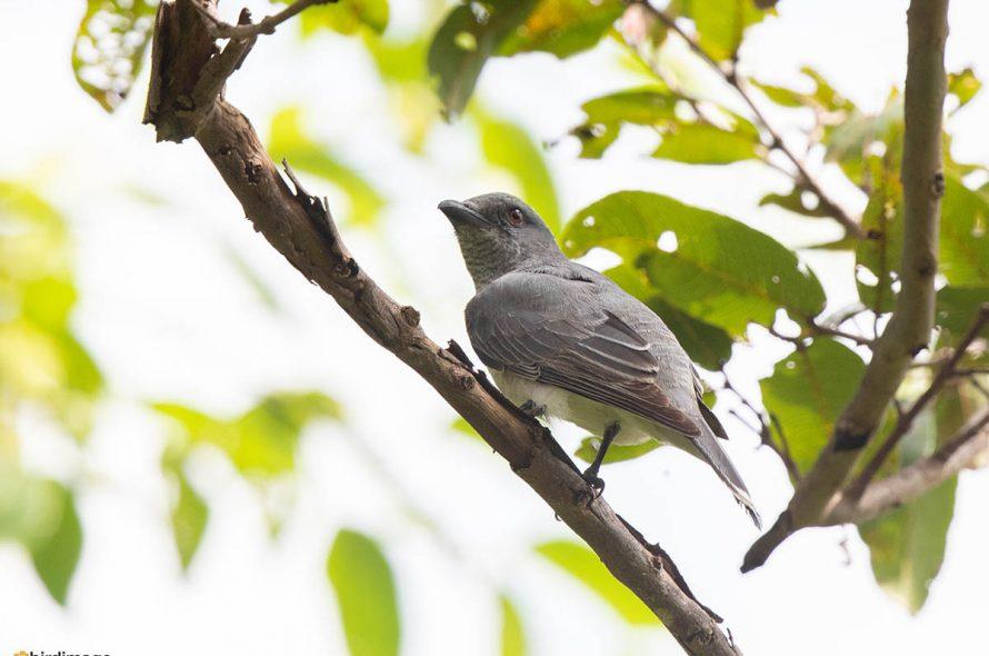 Grote rupsvogel – Large Cuckooshrike