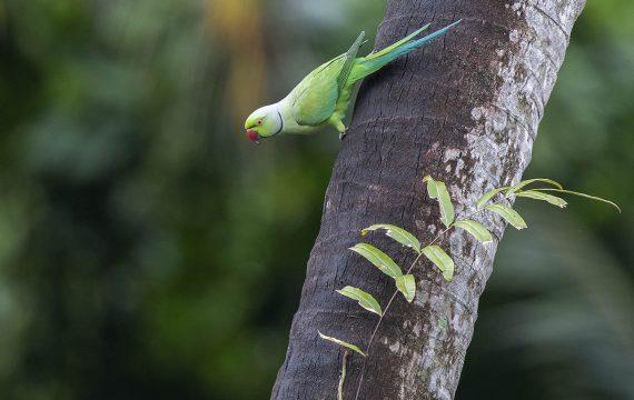 Halsbandparkiet – Rose-ringed parakeet