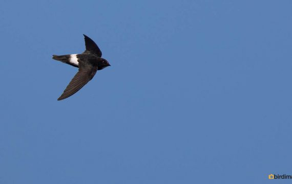 Huisgierzwaluw – Little swift