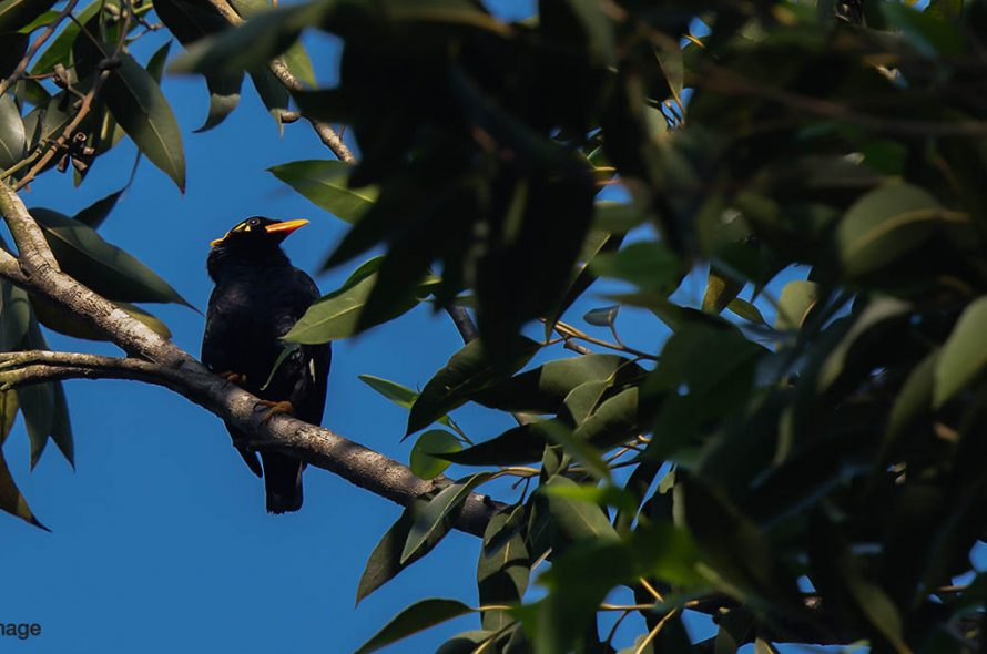 Indiase beo – Southern hill myna