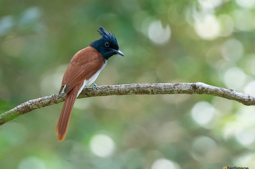 Indiase paradijsmonarch – Indian paradise flycatcher