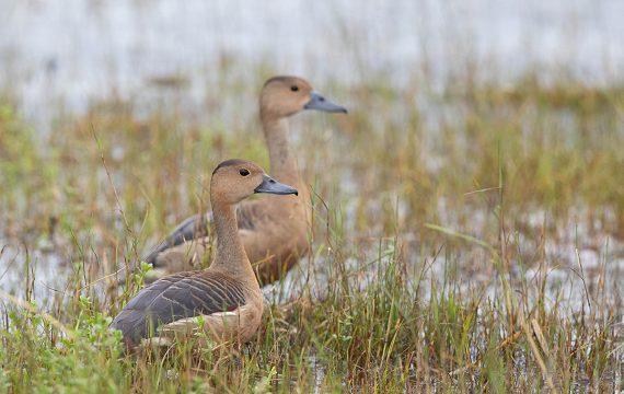 Indische fluiteend – Lesser whistling duck