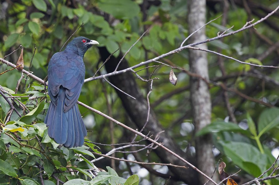 Indische koël – Asian Koel