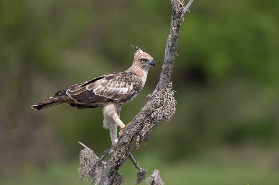 Indische kuifarend – Crested Hawk Eagle