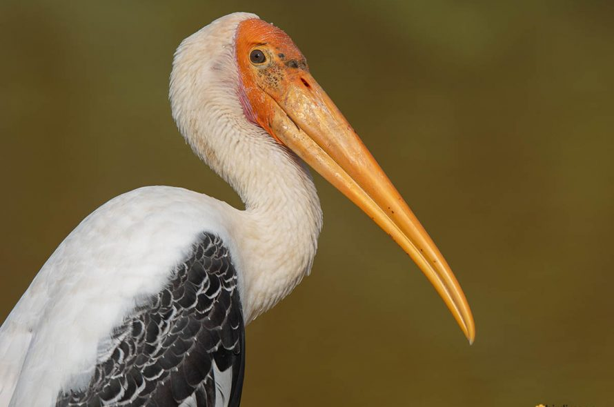 Indische nimmerzat – Painted stork