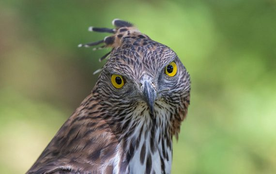 Indische slangenarend – Crested serpent eagle