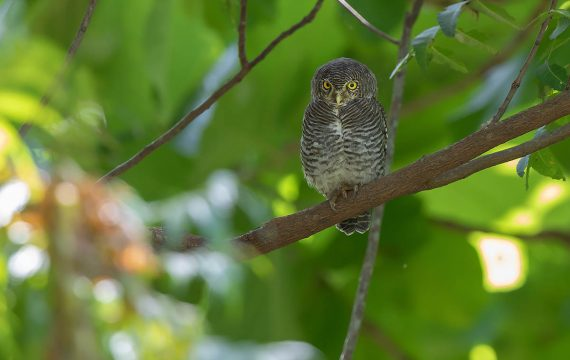 Jungledwerguil – Jungle Owlet