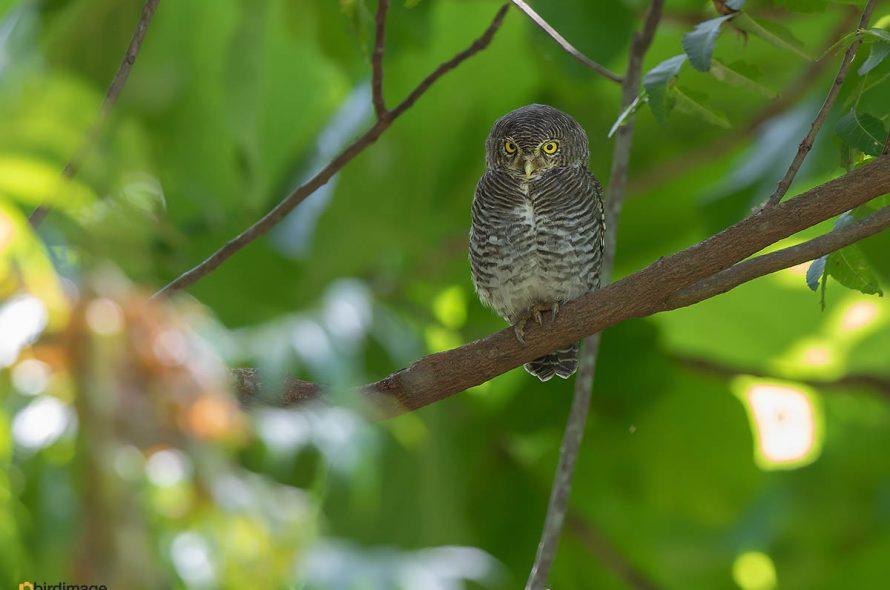 Jungledwerguil – Jungle Owlet
