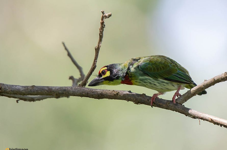 Kopersmid – Coppersmith Barbet