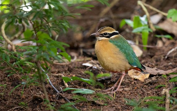 Negenkleurige pitta – Indian Pitta