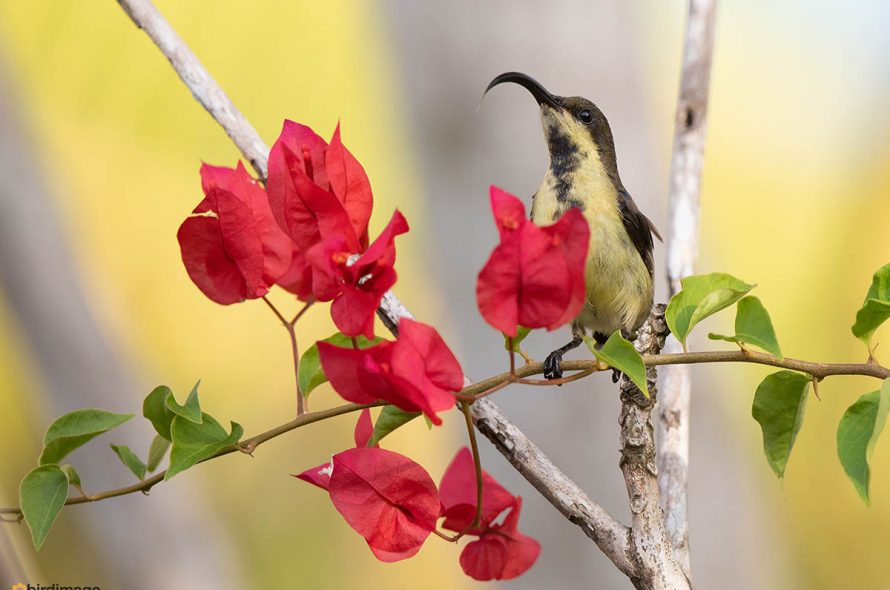 Purperstuithoningzuiger – Purple-rumped sunbird