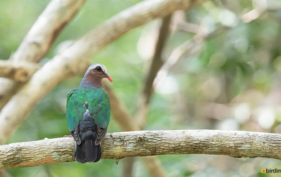 Smaragdduif – Common emerald dove