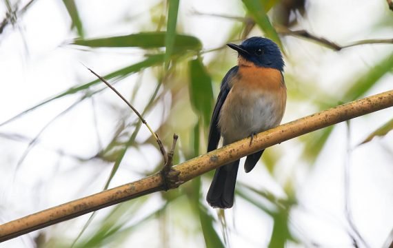 Tickells niltava – Tickell's Blue Flycatcher