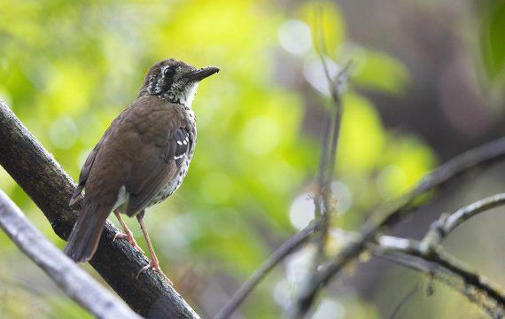 Vlekvleugellijster – Spot-winged Thrush