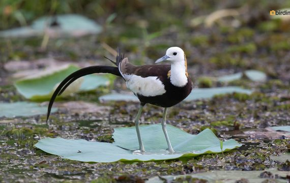 Waterfazant – Pheasant-tailed jacana
