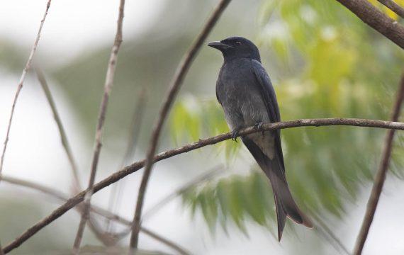 Witbuikdrongo – White-bellied drongo