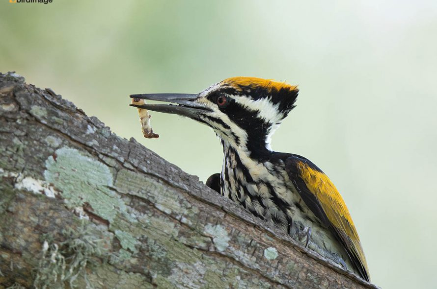 Witnekspecht – White-naped woodpecker