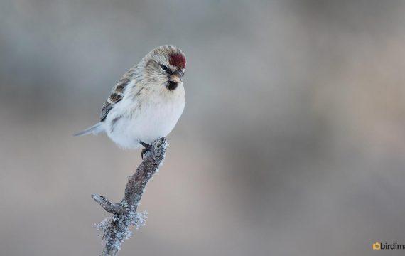 Witstuitbarmsijs – Arctic redpoll