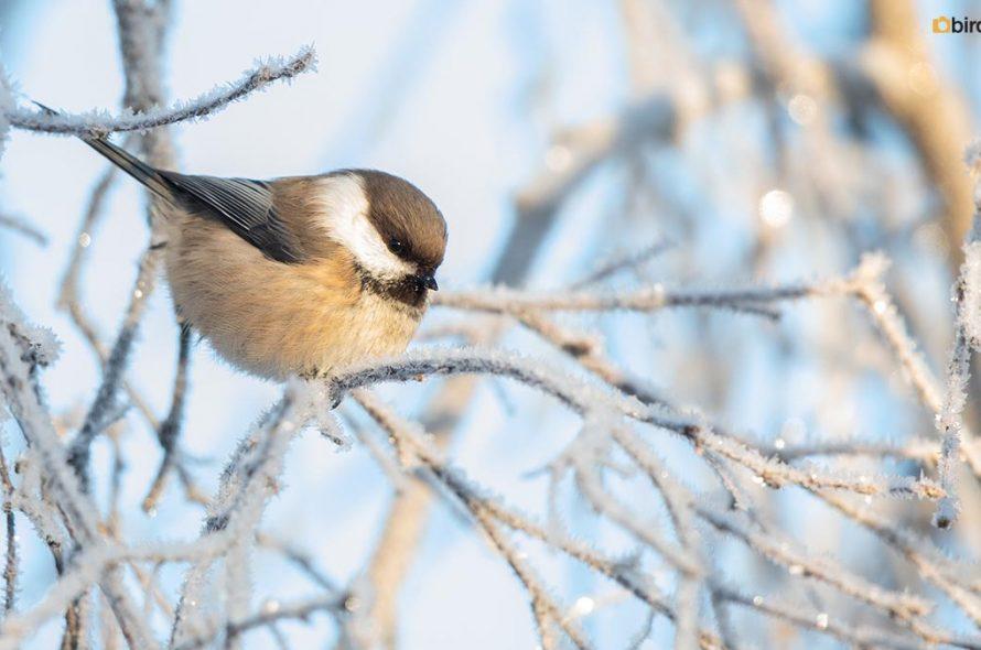 Bruinkopmees – Siberian tit