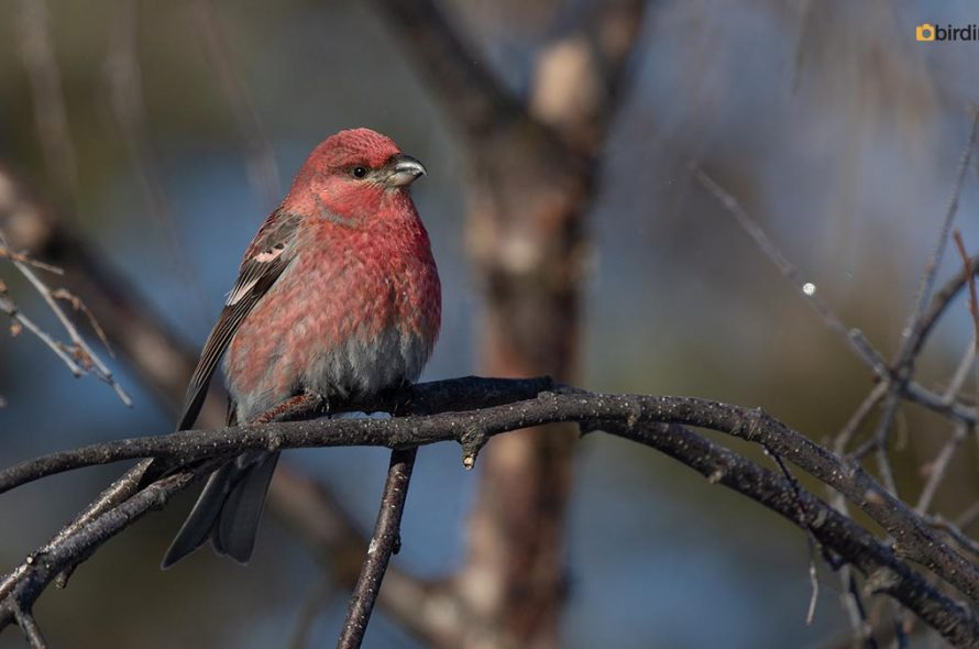 Haakbek – Pine grosbeak