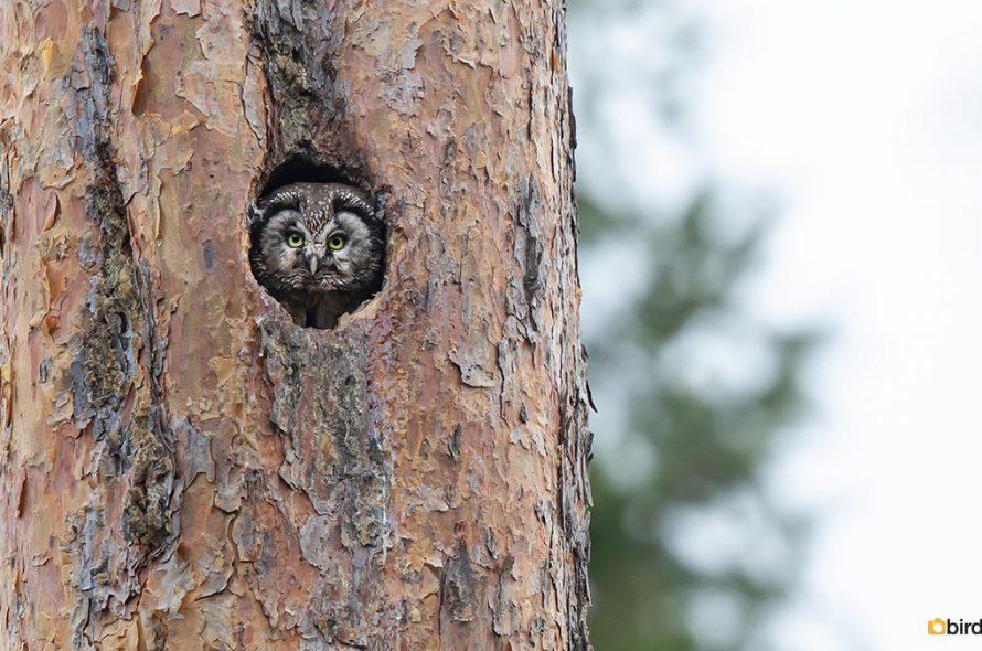 Ruigpootuil – Boreal owl