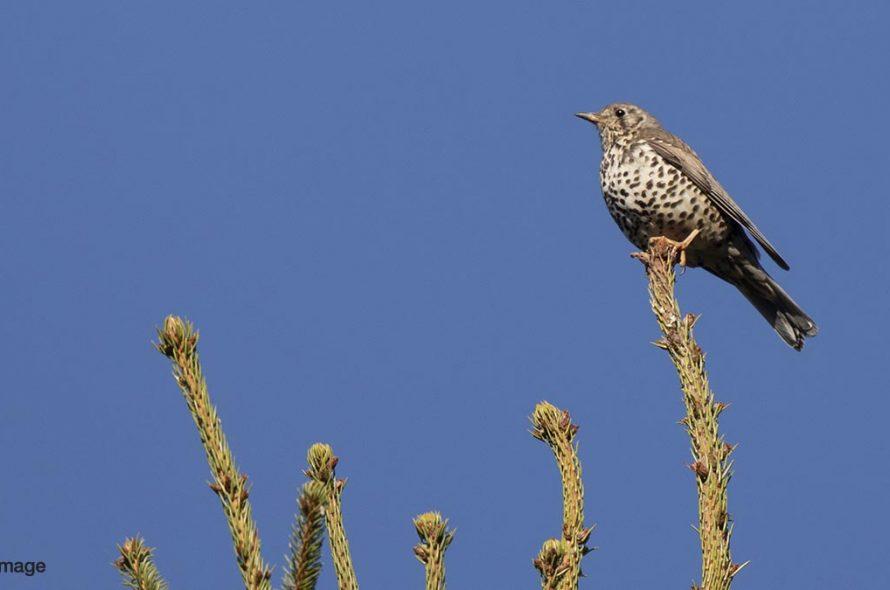 Grote lijster – Mistle thrush
