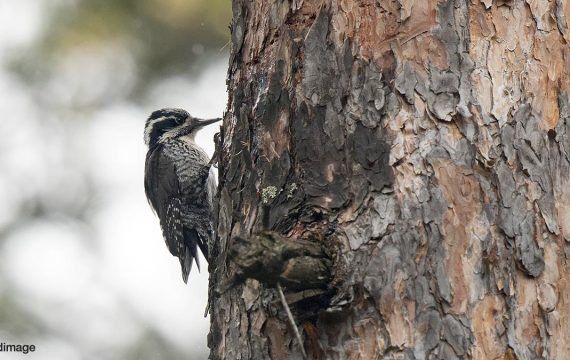 Drieteenspecht – Eurasian three-toed woodpecker