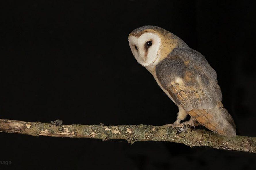 Kerkuil – Barn owl