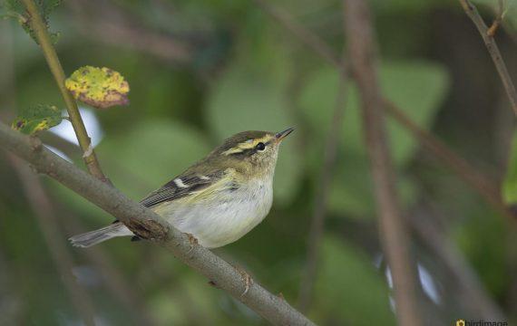 Bladkoning – Yellow-browed warbler