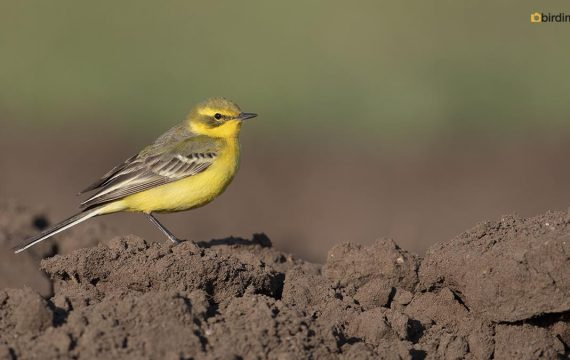 Engelse gele kwikstaart – Yellow-crowned Wagtail