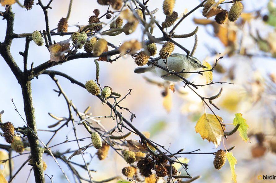 Humes bladkoning – Hume's Leaf Warbler