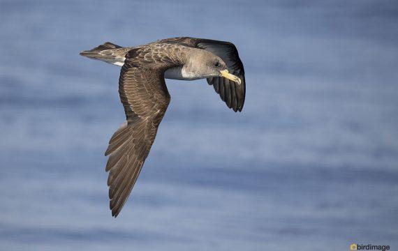 Kuhls pijlstormvogel – Cory's shearwater