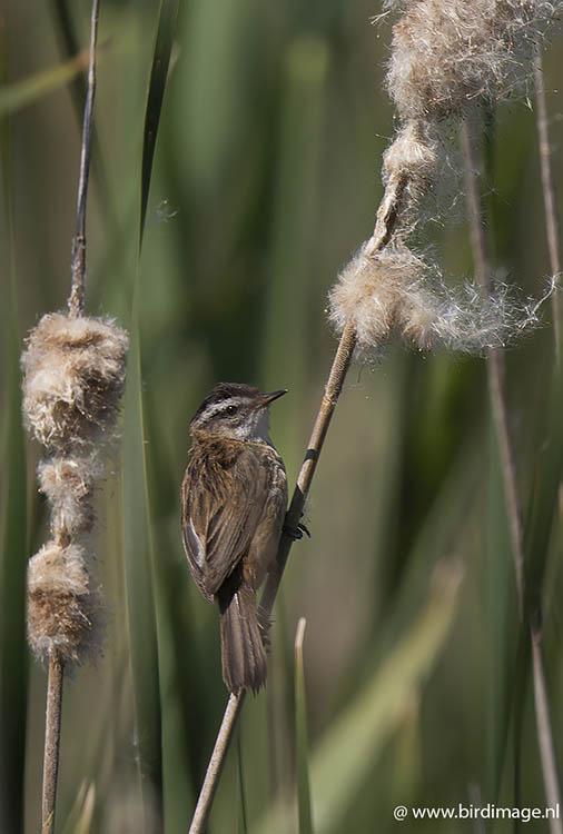 Zwartkoprietzanger – Moustached Warbler