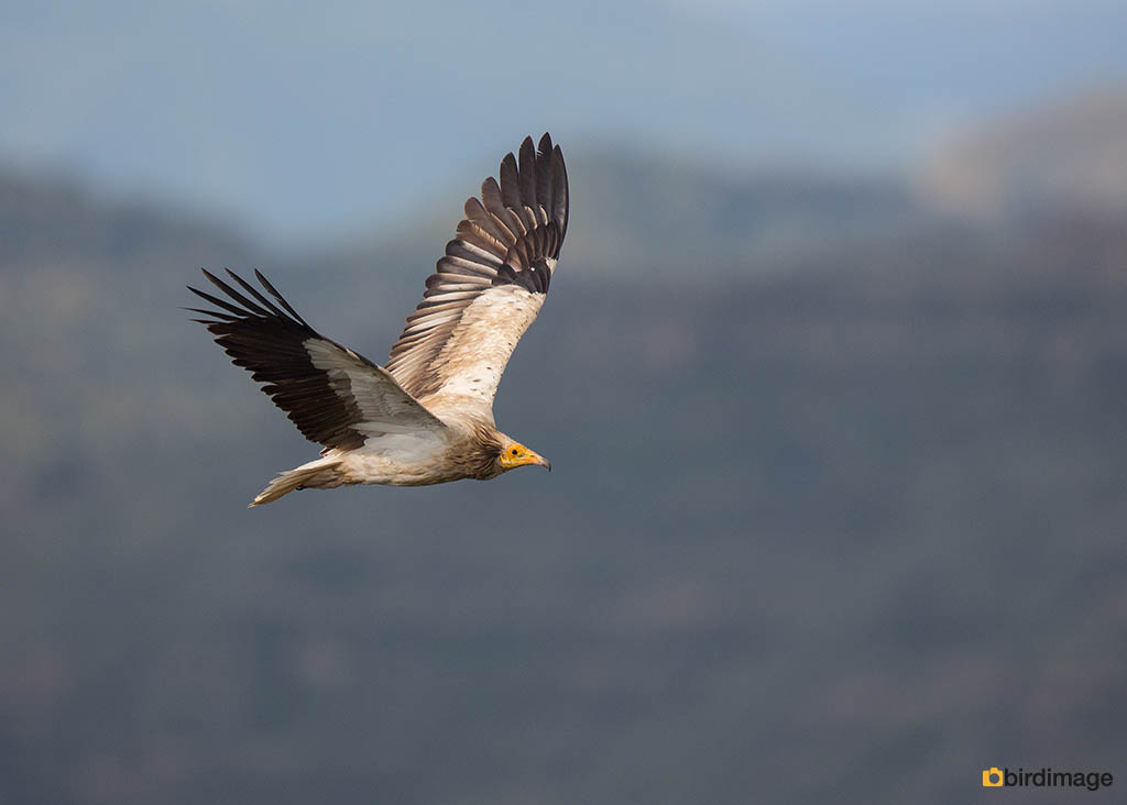 Aasgier – Egyptian Vulture