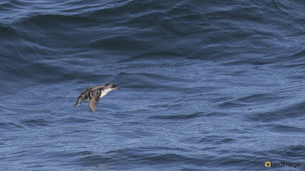 Alkstormvogeltje – Common Diving Petrel