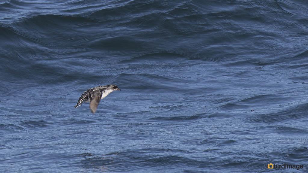 Alkstormvogeltje – Common Diving Petrel