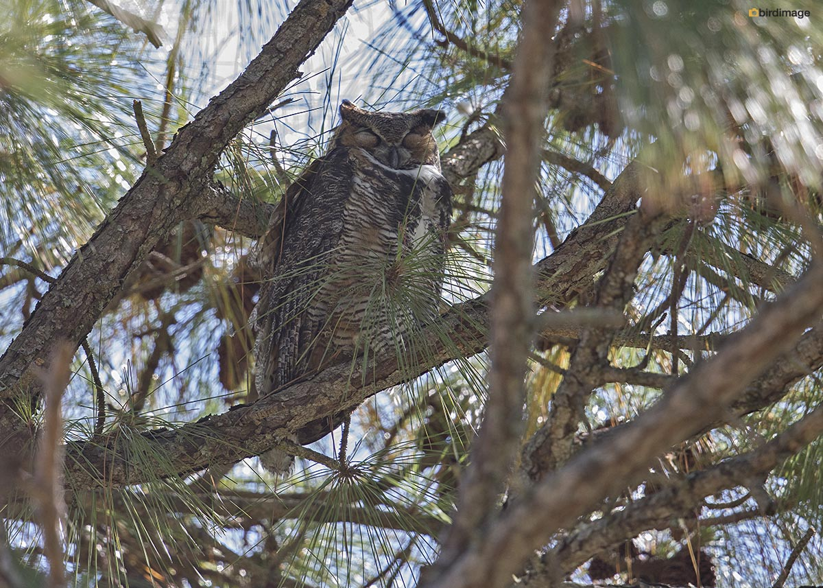 Amerikaanse oehoe – Great horned owl