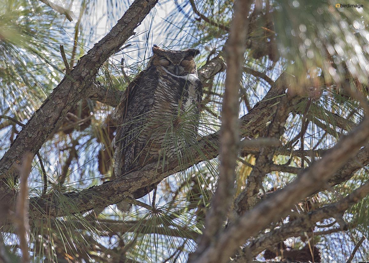 Amerikaanse oehoe – Great horned owl