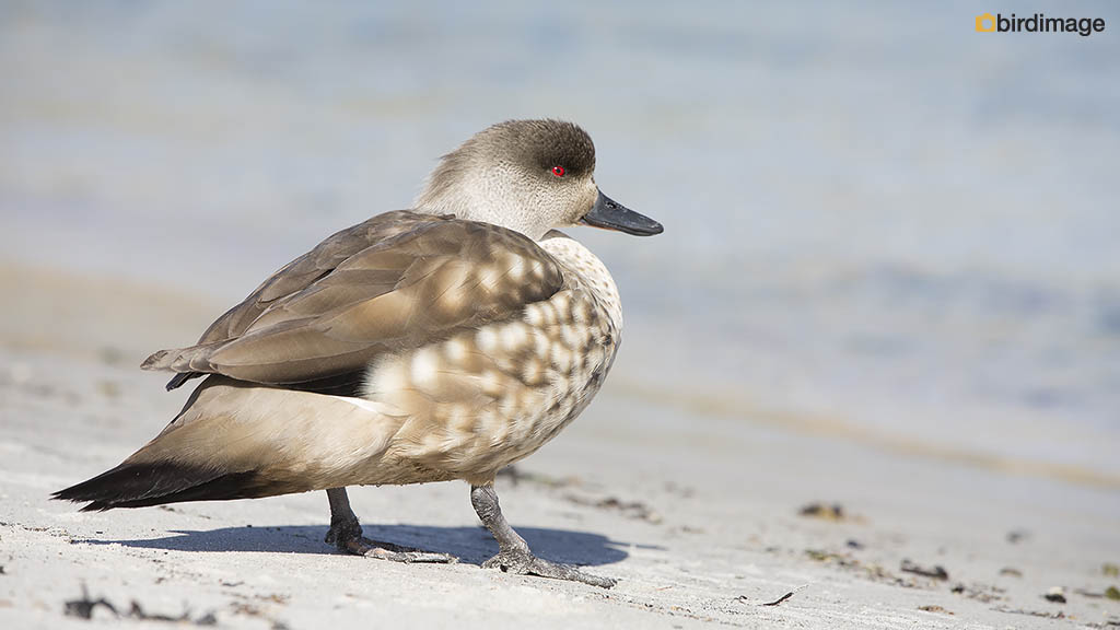 Andeseend – Crested Duck