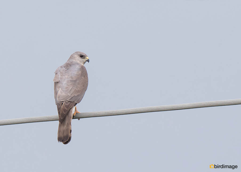 Balkansperwer – Levant Sparrowhawk