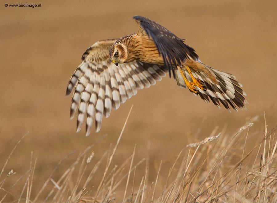 Blauwe kiekendief – Hen Harrier
