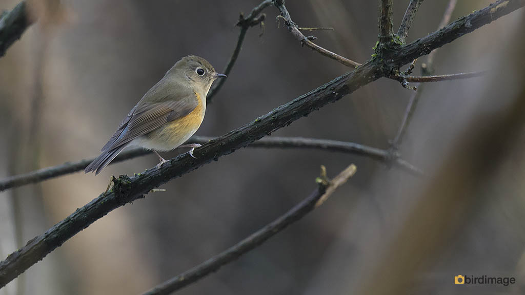 Blauwstaart – Red-flanked Bluetail
